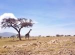 giraffe twins on tour safari