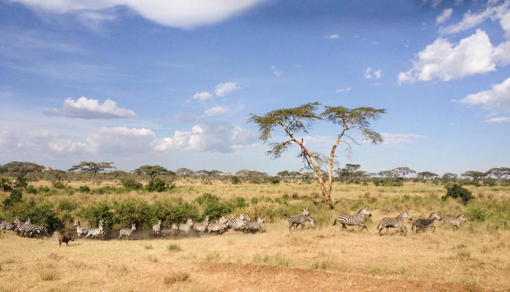 safari zebras twins on tour