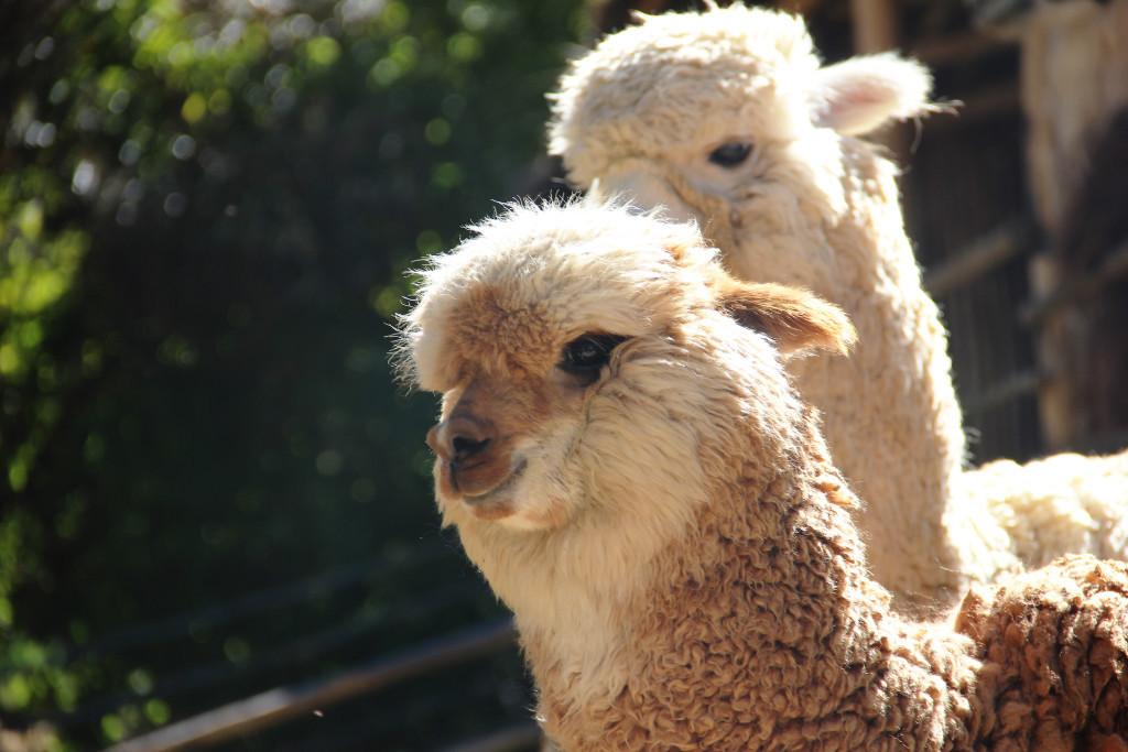 lamas peru twins on tour