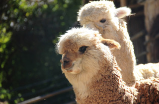 lamas peru twins on tour